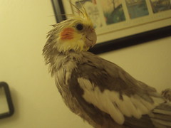 cockatiel after shower (bondedwithtiels) Tags: pets weblog cockatiel cockatiels wetbird tiels cockatielcare
