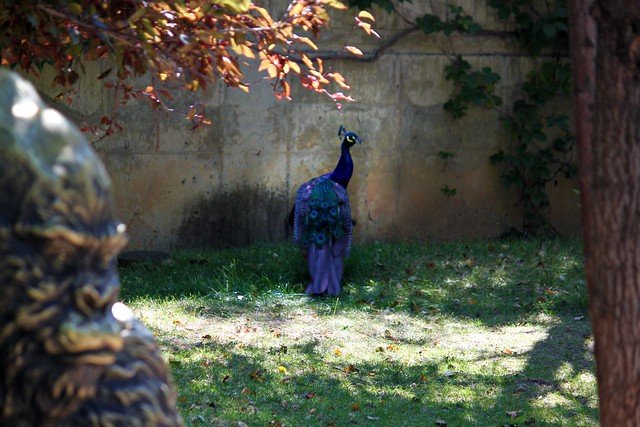 Peacock in Hiding