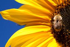 late summer (Stefan Lorse) Tags: summer sun macro fall yellow deutschland sommer saxony herbst bee sachsen sunflower sonne biene geld germay tamron1750mm canoneos50d sonnenbume