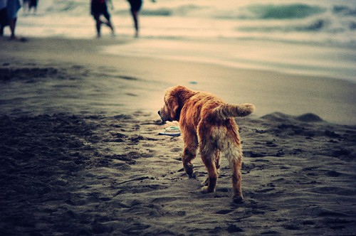 [Free Image] Animals, Mammalia, Dog, Beach, 201110080500