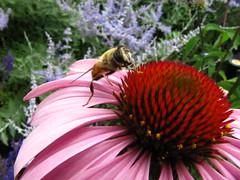 Bee (historygradguy (jobhunting)) Tags: plant flower animal boston bug insect ma massachusetts newengland bee hero coneflower mass bostonist bigmomma universalhub itsaysbeeandtheresapictureofabeeonit