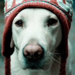 27/52 - chilly (Clicking Mad) Tags: dog hat yellow labrador lotus beanie tassels chullo 52weeksfordogs