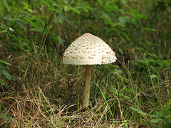 Parasolpilz / Parasol Mushroom (Macrolepiota procera) (Sexecutioner) Tags: nature mushroom canon germany mushrooms deutschland wildlife natur paloma parasol pilze mainz pilz rheinlandpfalz parasole 2011 parasolmushroom ombrellone parasolpilz mazzaditamburo macrolepiotaprocera apagador matacandil galamperna ukonsieni groteparasolzwam mainzersand czubajka lpioteleve riesenschirmpilz stoltfjllskivling grosersand czubajkakania bedlavysok nagyzlbgomba cucurril copyrightsexecutioner  orjakidenik  bubbolamaggiore puppola   velikasunanica  suursirmik parasollsopp sktinvynabud  bedavysok