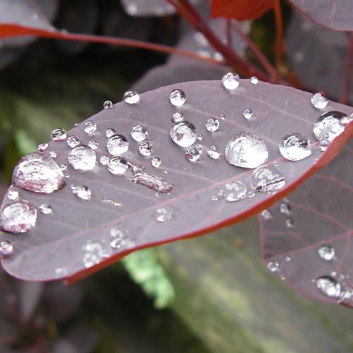 water on smoke bush leaf