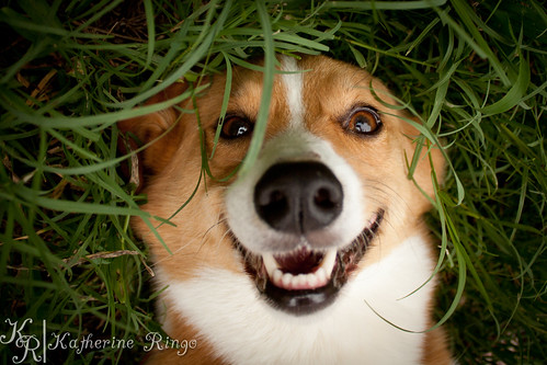 Bernie - Corgi Backyard Play