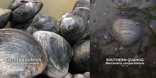 quahog- north and south