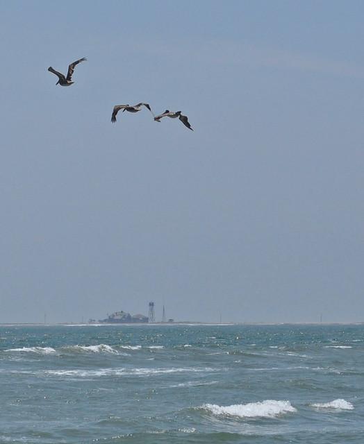Metompkin Inlet Pelicans