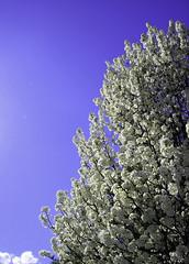 Bask (Junk Story) Tags: flowers sky sun tree nature clouds 2pm upshot bradfordpear kodakeasysharec613