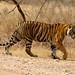 Outro tigre...