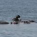 Hipopotamos de molho na agua