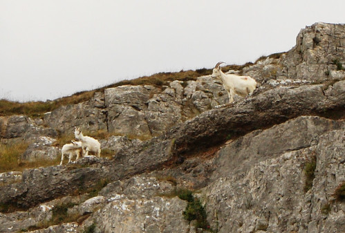 Kashmir goats, Great Orme