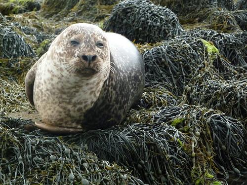 Common Grey Seal, Dunvegan