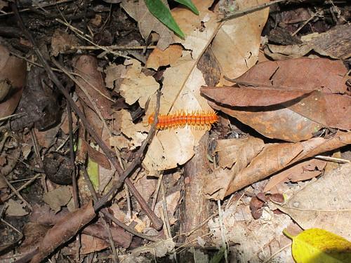 Orange centipede