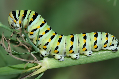 Black swallowtail larva 3 by pdecell
