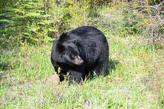 Black bear (Christophe Maerten) Tags: bear canada black mountains beer jasper noir parks rocky ab unesco area protected ours zwarte westerncanada gebied beschermd