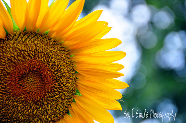 Sunflower 29/52