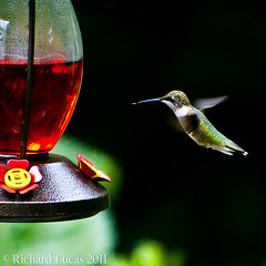 Hummingbird (RLucas2009) Tags: red green water tongue hummingbird feeder sugar