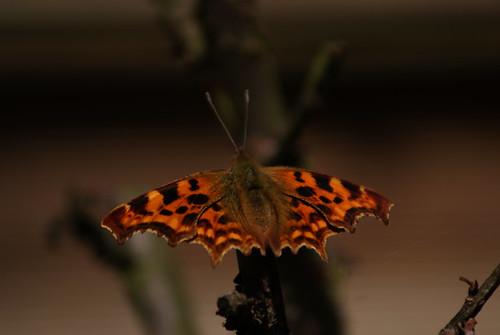 Vlinder / Butterfly