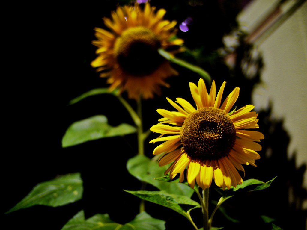 Sunflower at Night