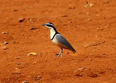 Egyptian Plover, Ndassima, CAR (Terathopius) Tags: car nikond70 centralafricanrepublic pluvianusaegyptius egyptianplover nikon70300mmf4556dedaf ndassima