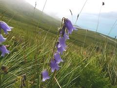 Campanule barbue=Campanula barbata - Mt Cenis 005