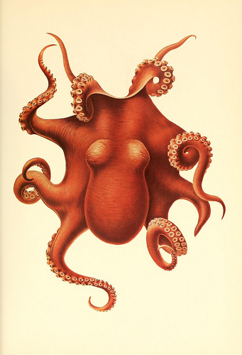 dessin-illustration-poulpe-cephalopode-01