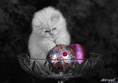 Sugar.. ( Anoud Abdullah AlHabib) Tags: lighting baby cute cat canon studio eos 50mm sugar 500d my