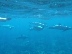 ハワイ島イルカと泳ぐ