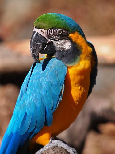 多摩動物公園 ルリコンゴウインコ