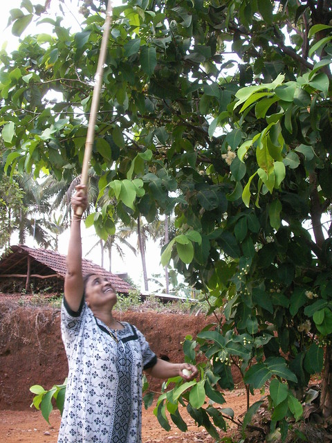 A. Justine beating roseapples from the tree