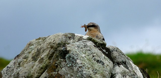 24661 - Wheatear, Isle of Mull