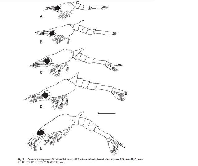 Stades larvaires C.compressus