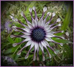 (celicom) Tags: mixedflowers flowersarebeautiful excellentsflowers mimamorflowers flickrfloresmacroscloseup esenciadelanaturaleza