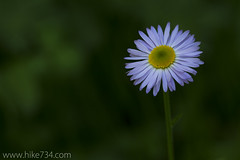 "Showy Fleabane • <a style=""font-size:0.8em;"" href=""http://www.flickr.com/photos/63501323@N07/5967075875/"" target=""_blank"">View on Flickr</a>"