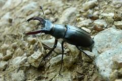 Stag beetle (Lucanus cervus) (MyBukit) Tags: macro march war stag peace bosnia muslim beetle civil 1995 mira hercegovina balkan republika bosna 2011 potoari lucanus srpska cervus mar bleskov nezuk
