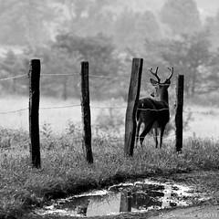 Buck Puddle (raisinsawdust - (aka: tennphoto)) Tags: bw fence puddle nikon mud tennessee deer buck posts smokies smokymountains greatsmokymountains cadescove gsmnp 2011 d90 nikond90