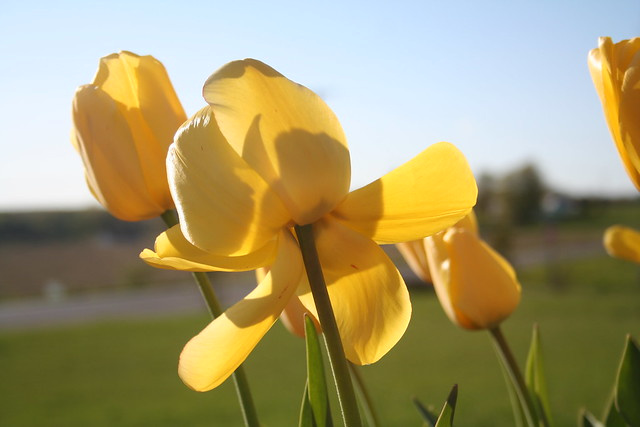 Hope and Promise: The First Year the Yellow Tulips Bloomed