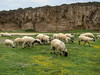 Akamas sheep (Mike G. K.) Tags: flowers mountains grass canon landscape rocks sheep cyprus s90 paphos akamas mikegk:gettyimages=submitted