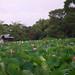 pink lotus pond