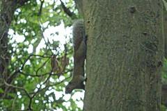 瀬上市民の森のタイワンリス(Squirrel, Segami Community Woods)