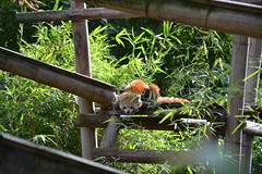 Le panda roux à l'affût