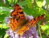 Comma Or A Full Stop ! (Church Mouse 07) Tags: summer buddleia july 2011 commabutterfly churchmouse07