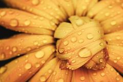 Heute leider geschlossen. - Closed for today. (koeb) Tags: flower macro water drops wasser dof workshop dew tau nikkor blume tropfen kräutergarten 105mm inzigkofen happyshooting nikkor105mmf28gvrmicro klostergeister klostergeister2011