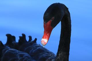 The beautiful black swan