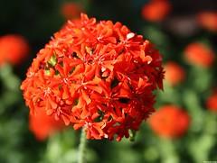 ~ burninglove ~ (Elsa Kurppa) Tags: red  rd punainen 2011 burninglove lychnischalcedonica flowerscolors brennendeliebe palavarakkaus brinnandekrlek elsakurppa