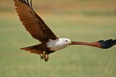 Brahminy Kite-Explored (Gurusan2010) Tags: raptor tenkasi brahminykite haliasturindus birdsoftamilnadu