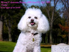 In memory of M and P Aphrodite Bianca AM/CAN CD, CGC, TDI (aka. Candy) (Pappup2010) Tags: dog pet white cute animal toy small poodle breed