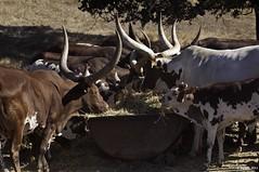 Ankole-Watusi Cattle (Greatest Paka Photography) Tags: california africa animals cattle rwanda sacred sonomacounty longhorn uganda horn breed santarosa herd watusi burundi safariwest ankole catskillgamefarm copenhagenzoo sanga tutsi ankolewatusicattle albertagamefarm