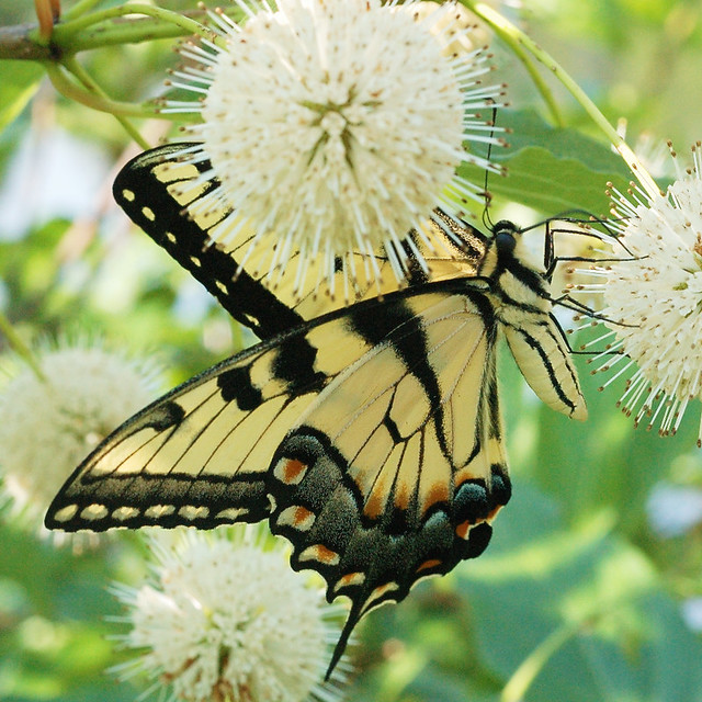 Shaw Nature Preserve, in Gray Summit, Missouri, USA - butterfly