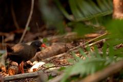 Calayan Rail (Gallirallus calayanensis) (Bram Demeulemeester - Birdguiding Philippines) Tags: philippines rails calayanrail bramdemeulemeester galliralluscalayanensis birdguidingphilippines philippinebirdtours